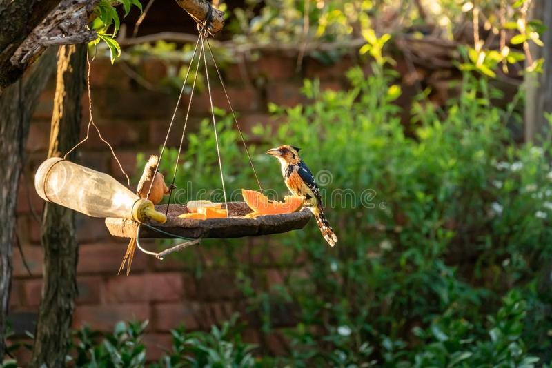 Barbet com crista ( Trachyphonus vaillantii) , África do Sul recolhida fotos de stock royalty free