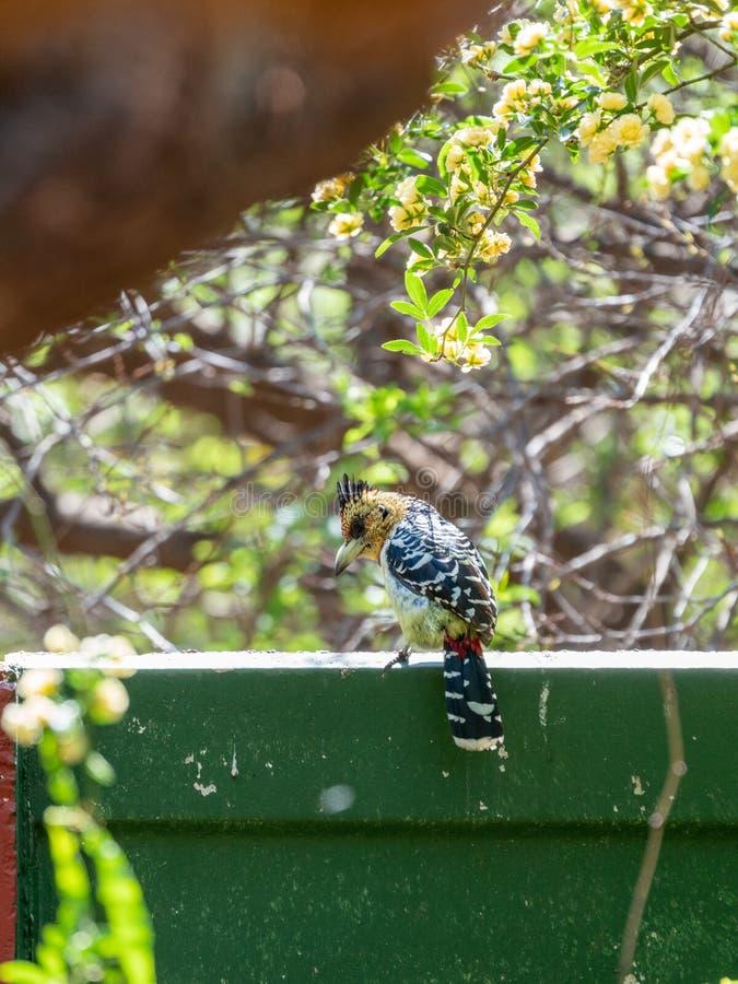 Barbet com crista ( Trachyphonus vaillantii) , África do Sul recolhida imagens de stock
