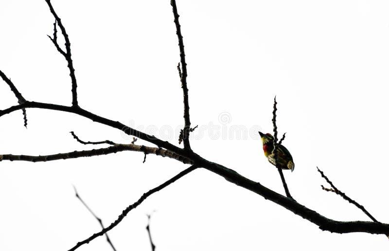 Barbet Coppersmith на черном дереве ветви и белой предпосылке стоковое изображение