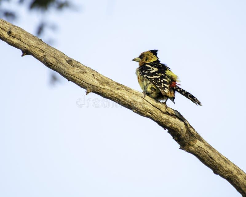 Barbet crêté - oiseaux du grand parc franchissant les frontières de Lumpopo image libre de droits