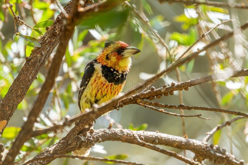Barbet crestato ( Trachyphonus vaillantii) , il Sudafrica contenuto fotografie stock libere da diritti
