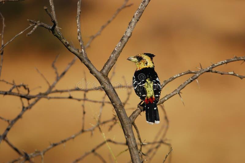 Barbet crestato (vaillantii di Trachyphonus) fotografie stock libere da diritti