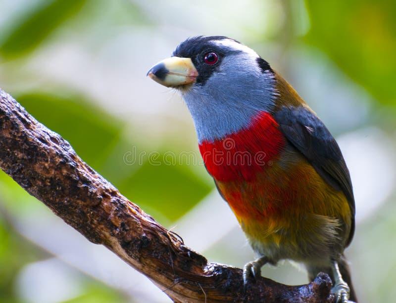 Barbet di Toucan immagine stock