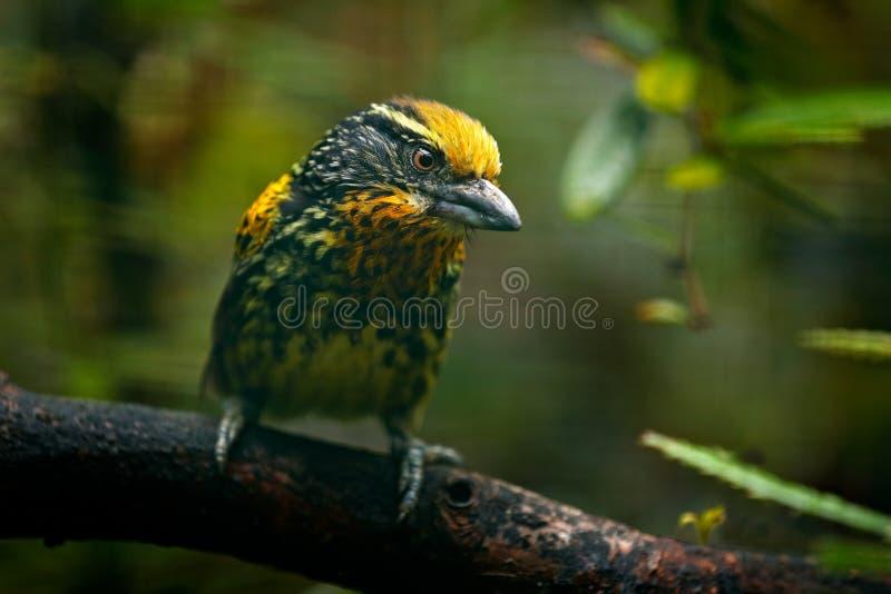 Barbet du Brésil Barbet doré, auratus de Capito, Equateur Toucan jaune d'Equateur Oiseau de jungle Bel oiseau de trop photos stock