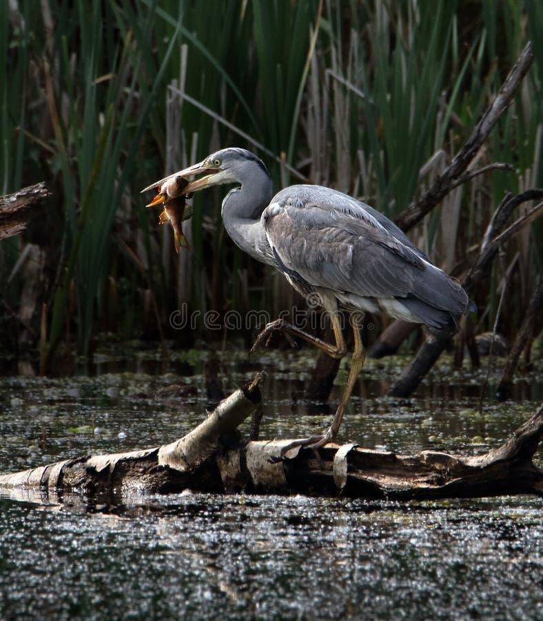 Barbilla de Grey Heron With A foto de archivo