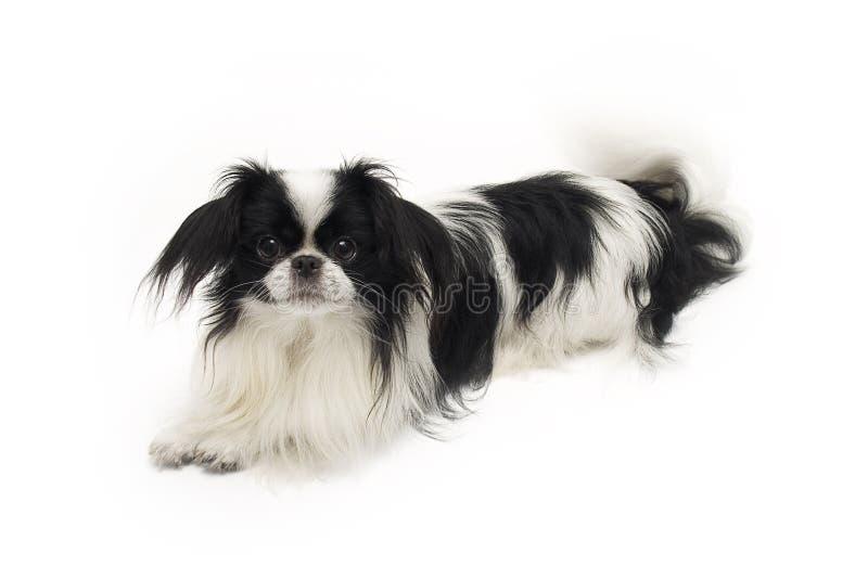 Barbilla del japonés del perro foto de archivo