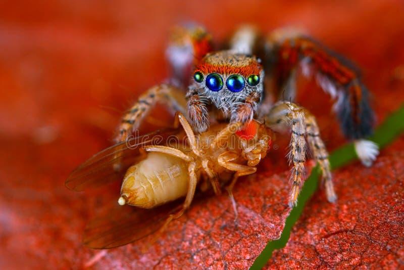 barbipes branchants de Saitis d'araignée avec la mouche à fruit photo stock