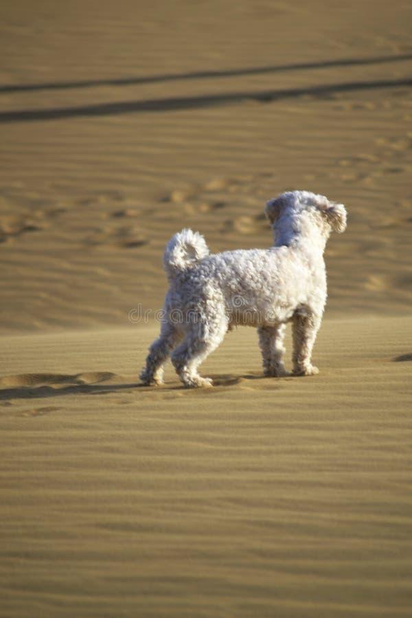 Barboncino che cammina alle dune fotografia stock