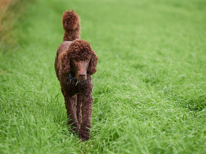 Barboncino di Brown che cammina sull'erba al prato di estate fotografie stock libere da diritti