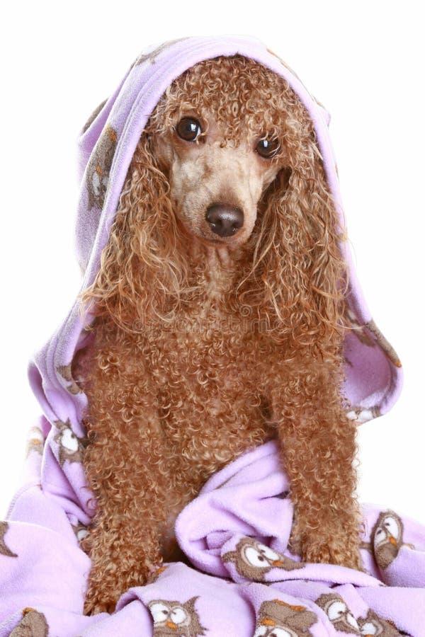 Barboncino dopo un bagno immagine stock immagine di - Bagno cane dopo antipulci ...