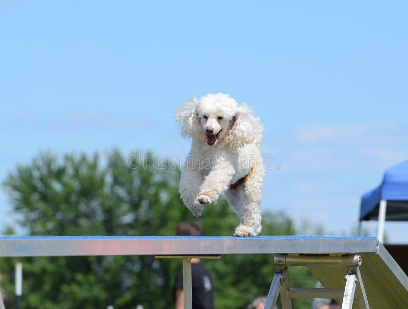 Barboncino miniatura ad una prova di agilità del cane immagini stock libere da diritti