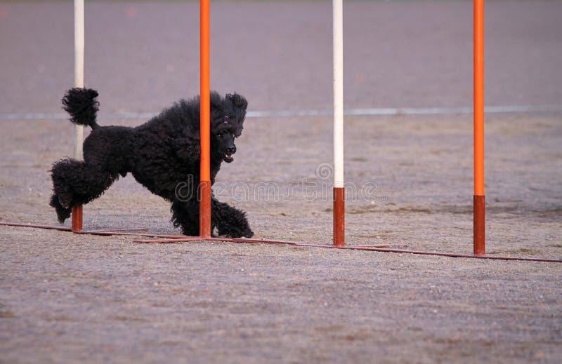 Barboncino nell'azione di agilità del cane fotografie stock libere da diritti