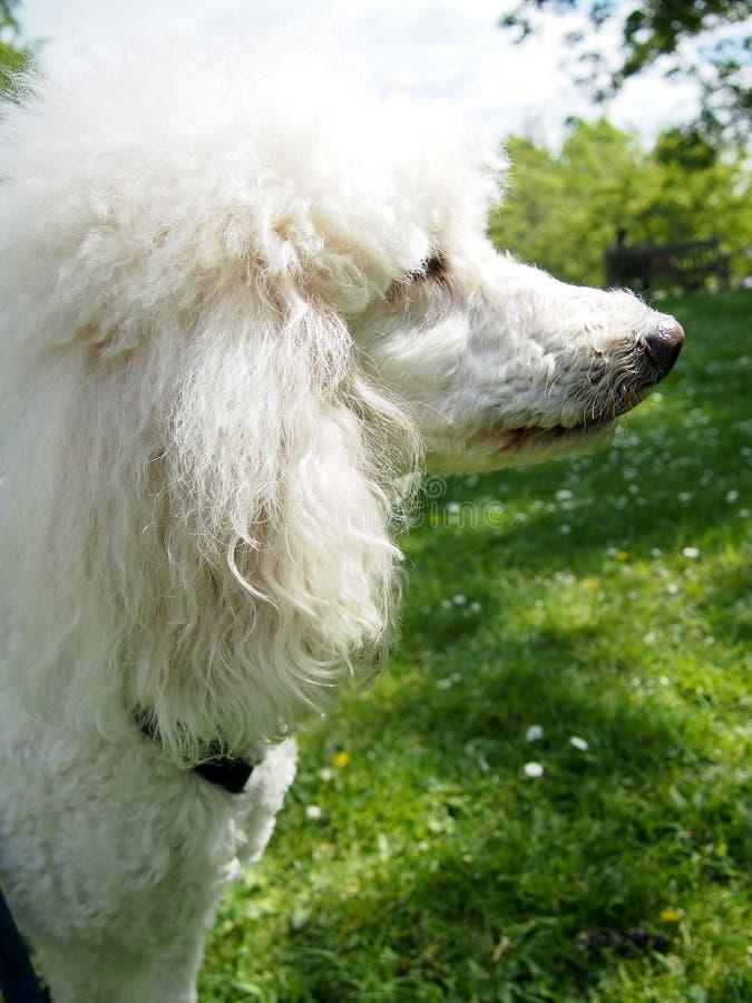 Barboncino standard dell'animale domestico sulla passeggiata al parco fotografia stock