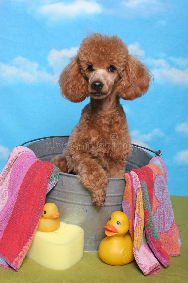 Barboncino in una vasca di bagno fotografia stock for Vasca per anatre