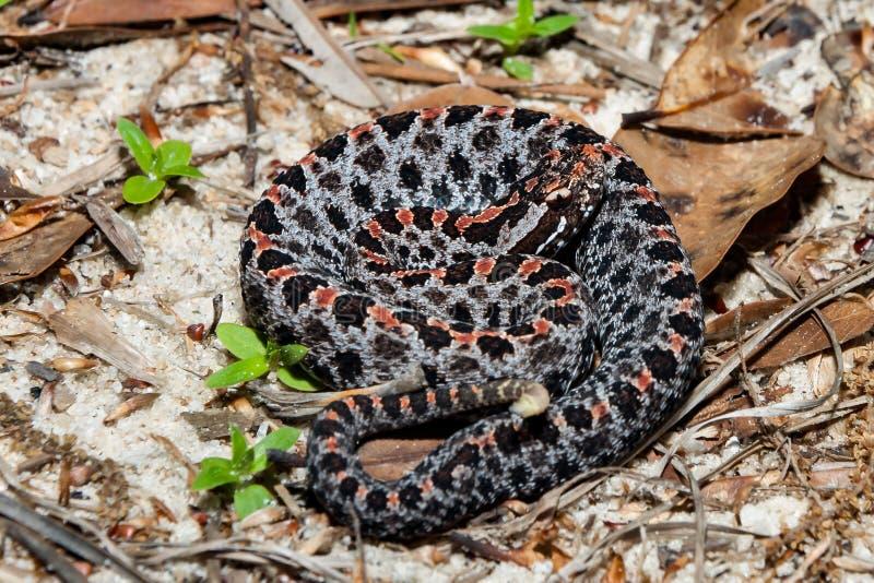 Barbouri pygméen sombre de miliarius de Sistrurus de serpent à sonnettes image stock