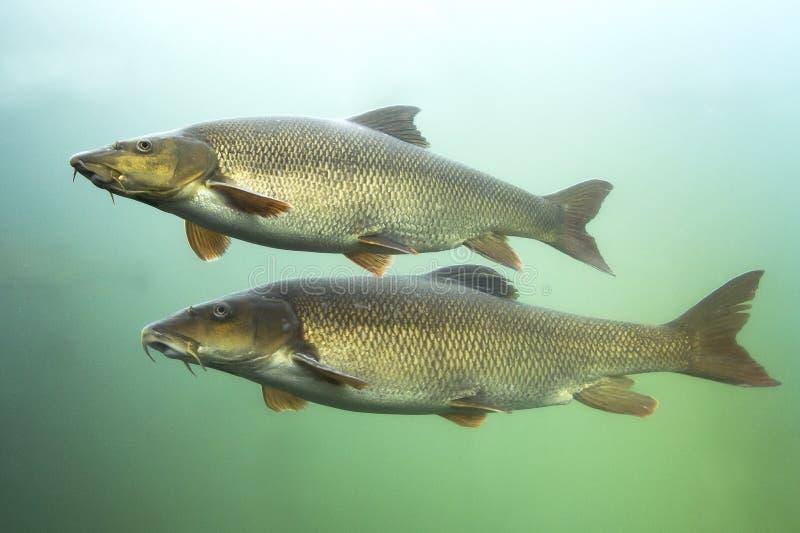 Barbus Barbus Barbel пресноводной рыбы подводное стоковое изображение