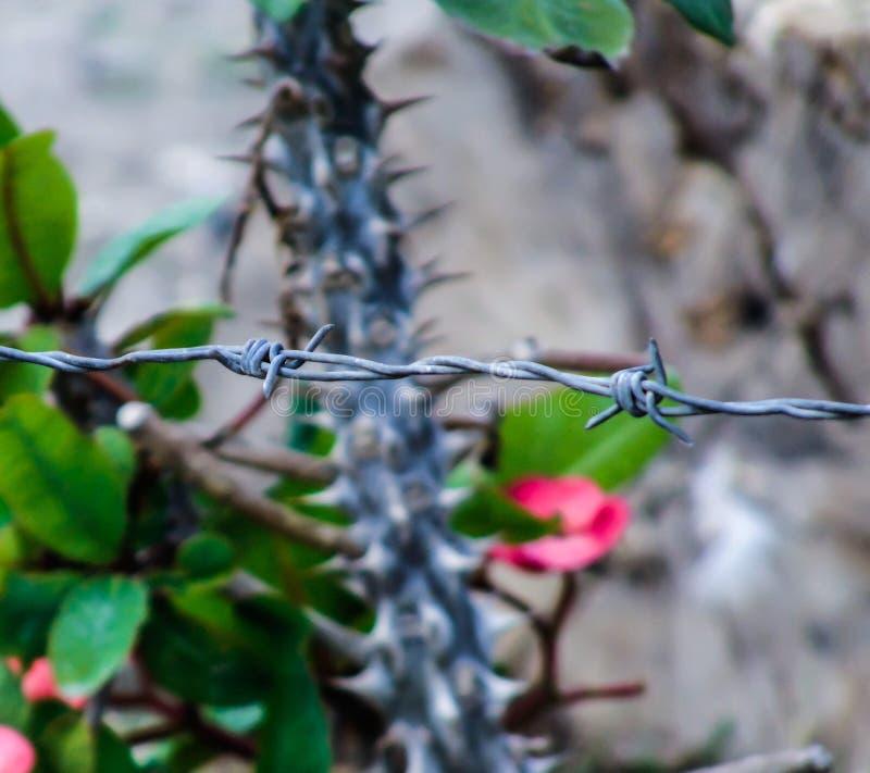 Barbwire e fiori del cactus nel backround fotografia stock libera da diritti
