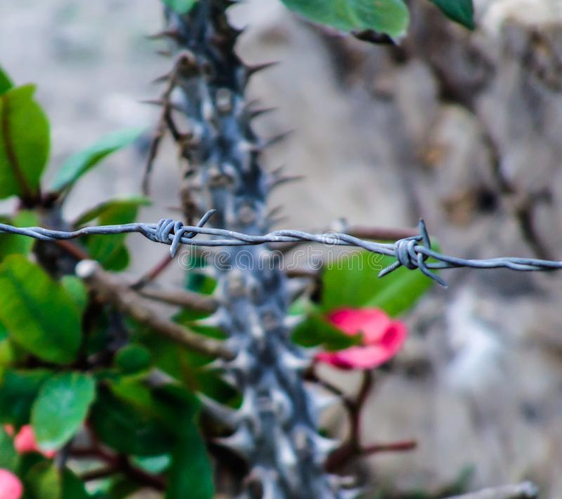 Barbwire en cactusbloemen in backround royalty-vrije stock foto