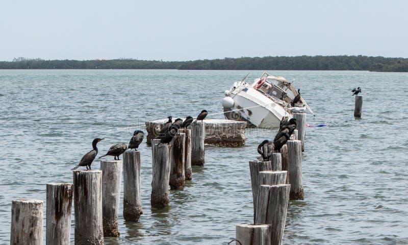 Barca d'affondamento in Florida con la moltitudine di cormorani immagini stock