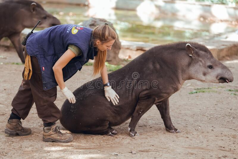 Barcelona, Spain, on May 2017 - Animal keeper at Barcelona Zoo taking care of the Amazonian tapir. Barcelona, Spain, on May 2017 - Animal royalty free stock image