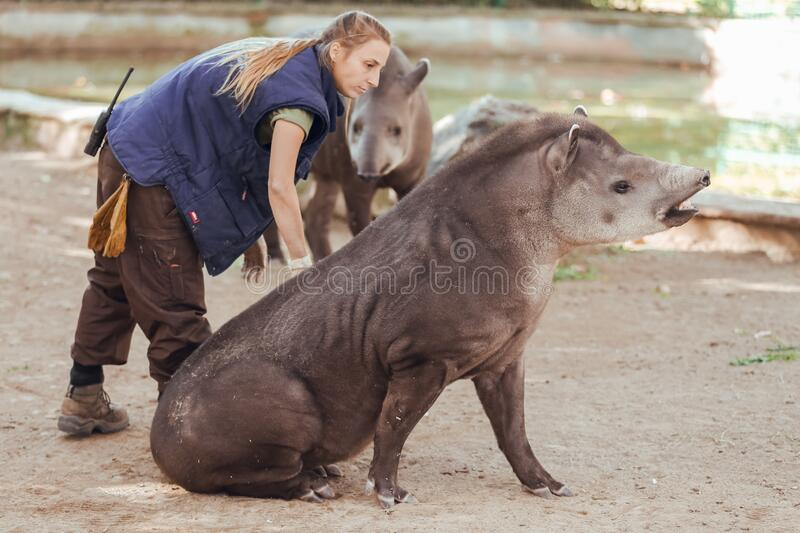 Barcelona, Spain, on May 2017 - Animal keeper at Barcelona Zoo taking care of the Amazonian tapir. Barcelona, Spain, on May 2017 - Animal stock photos