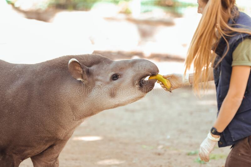 Barcelona, Spain, on May 2017 - Animal keeper at Barcelona Zoo taking care of the Amazonian tapir. Barcelona, Spain, on May 2017 - Animal royalty free stock photography