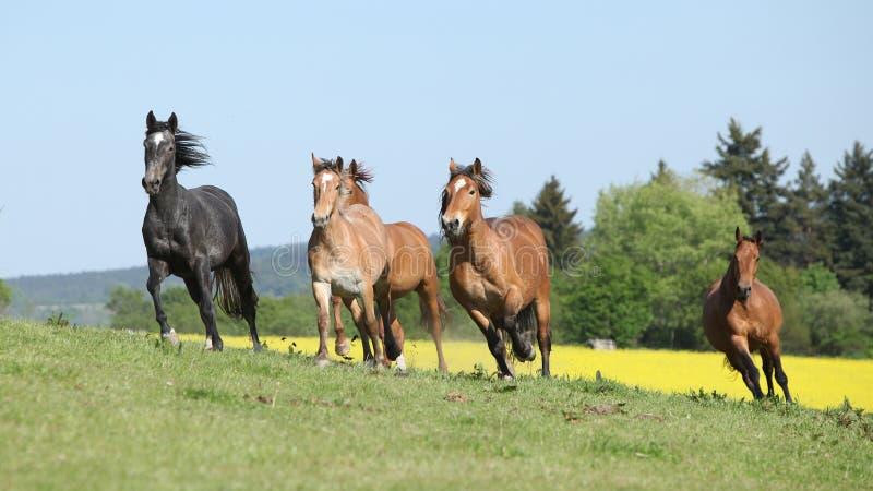 Barch très divers des chevaux fonctionnant sur le pâturage photographie stock