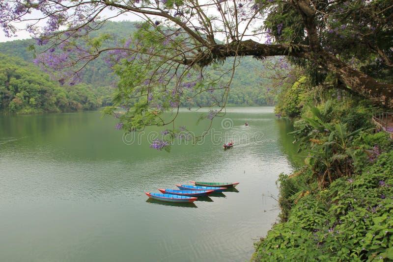 Barcos de rowing azules en el lago Fewa, Pokhara Árbol con la flor púrpura foto de archivo libre de regalías