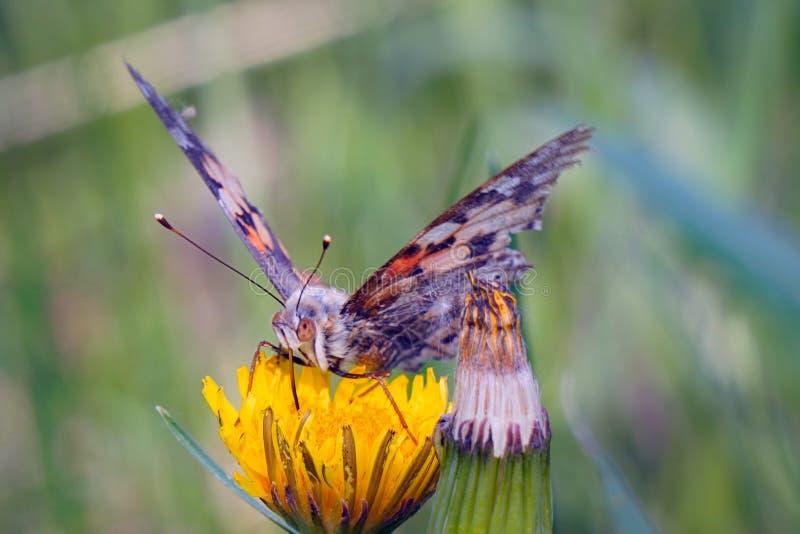 Bardana de la mariposa en una flor amarilla del diente de le?n foto de archivo