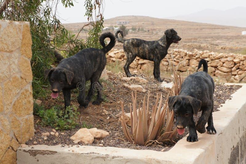 Bardino szczeniaki bawić się w Kanarowych wyspach obrazy stock