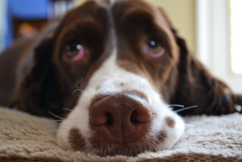 Psi nos obrazy royalty free