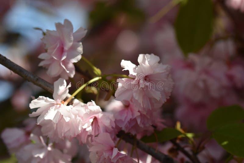 Bardzo dosyć kolorowi japońscy czereśniowego drzewa okwitnięcia zamknięci w górę mój ogródu w fotografia stock