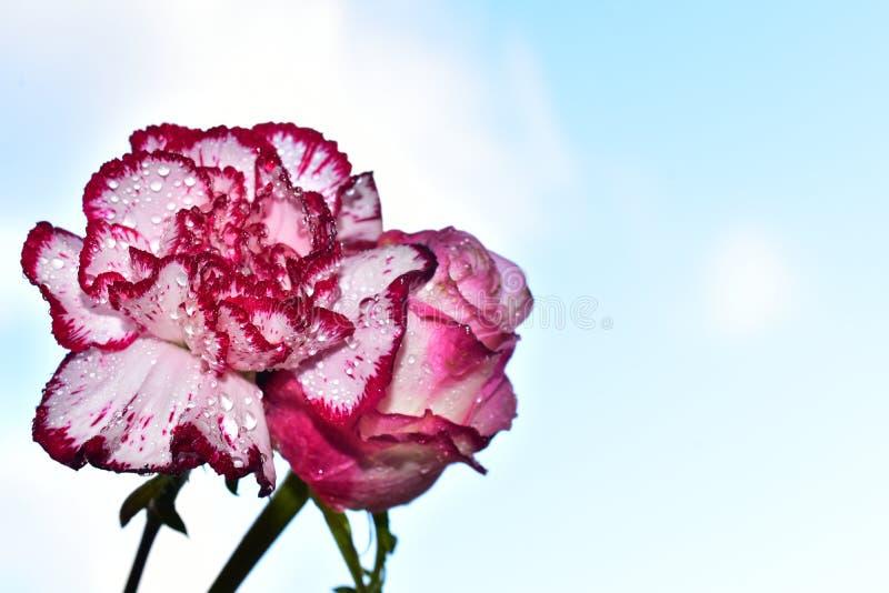 Bardzo dosyć kolorowy goździk i róża zamknięci w górę światła słonecznego w zdjęcie stock