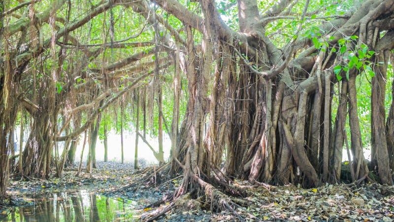 Bardzo duży banyan drzewo w dżungli , drzewo życie, Zadziwia Banya fotografia royalty free