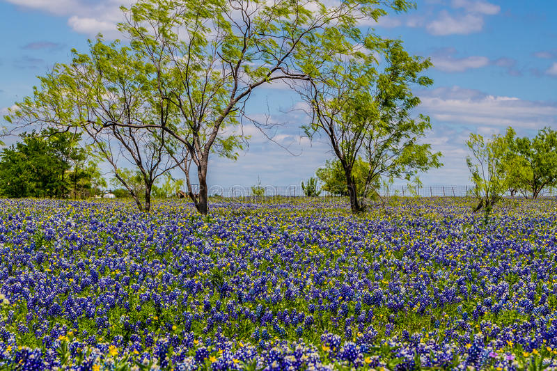 Bardzo Gęsta koc Teksas Bluebonnets w Teksas kraju łące z drzewami i niebieskimi niebami. zdjęcie royalty free