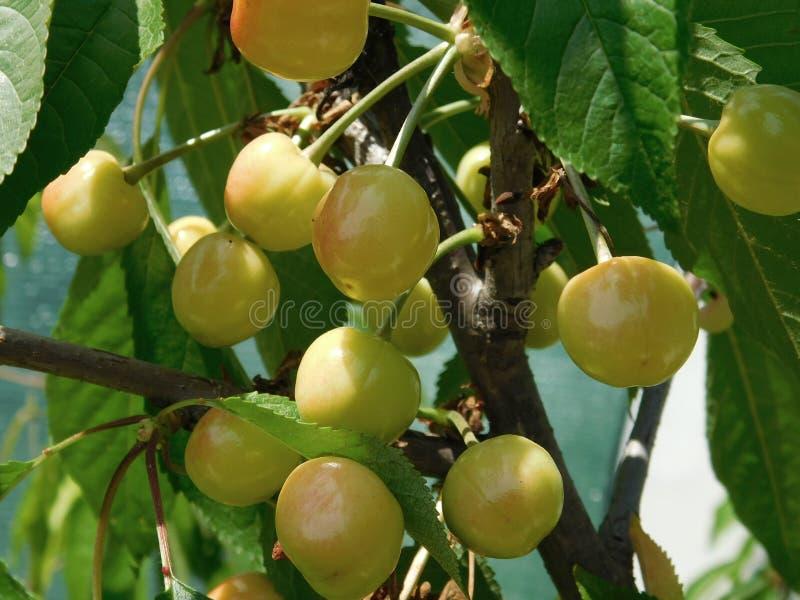Bardzo piękna czereśniowa jagoda, bardzo apetyczny i smakowity zdjęcie stock
