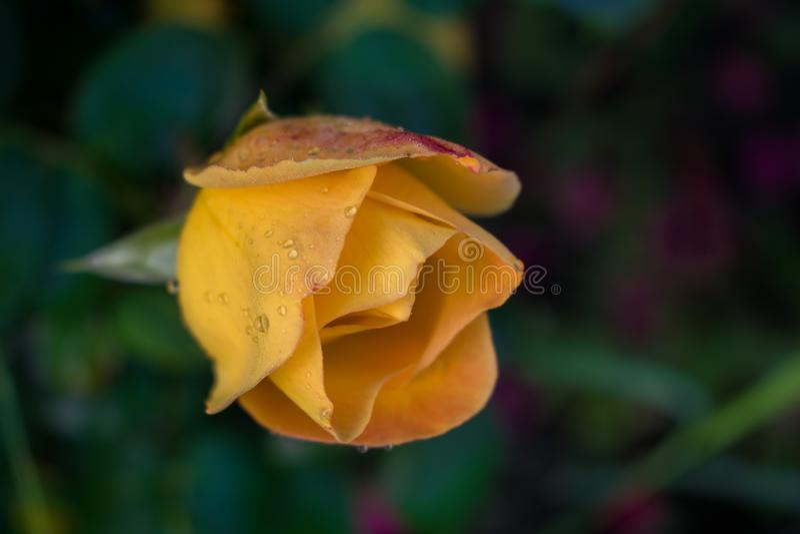 Bardzo piękna kolor żółty róża z pluśnięciami woda po deszczowego dnia Natura jest w ten sposób cudowna! Fotografia dla desktop t zdjęcia royalty free