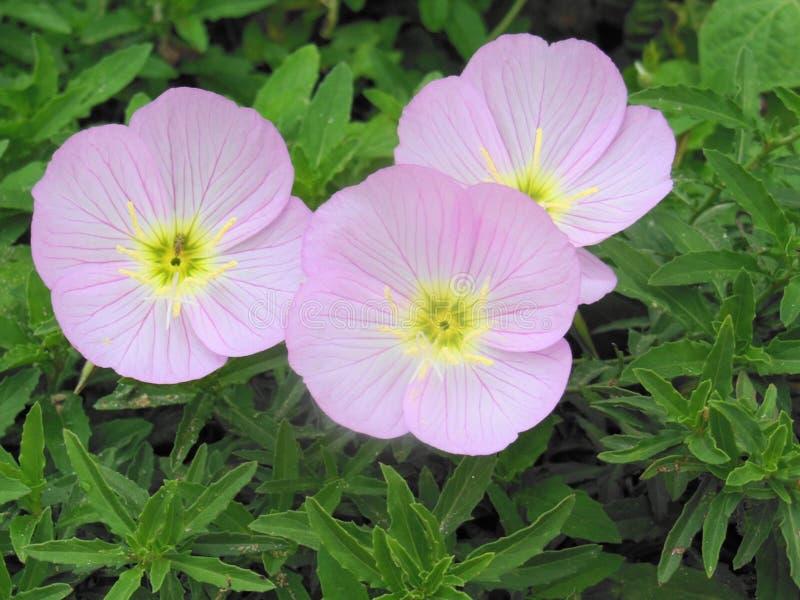 Bardzo piękna niezwykła purpura kwitnie w ogródzie zdjęcie stock