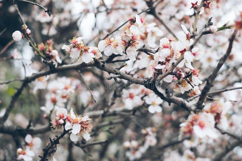 Bardzo piękny kwiatonośny migdał zdjęcia royalty free