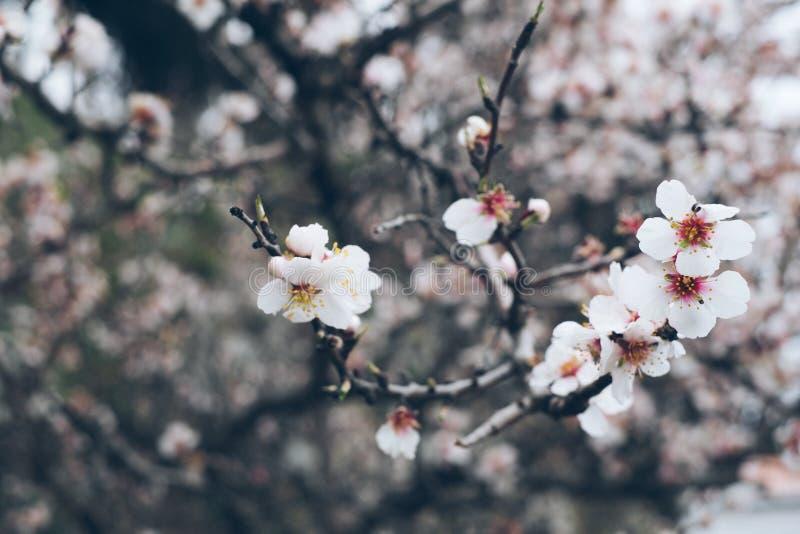 Bardzo piękny kwiatonośny migdał obrazy royalty free