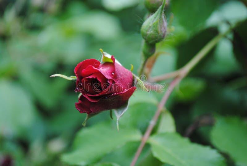 Bardzo piękny rosebud zdjęcie royalty free