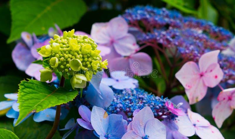 Bardzo piękny tło różni kolory hortensje zdjęcia stock