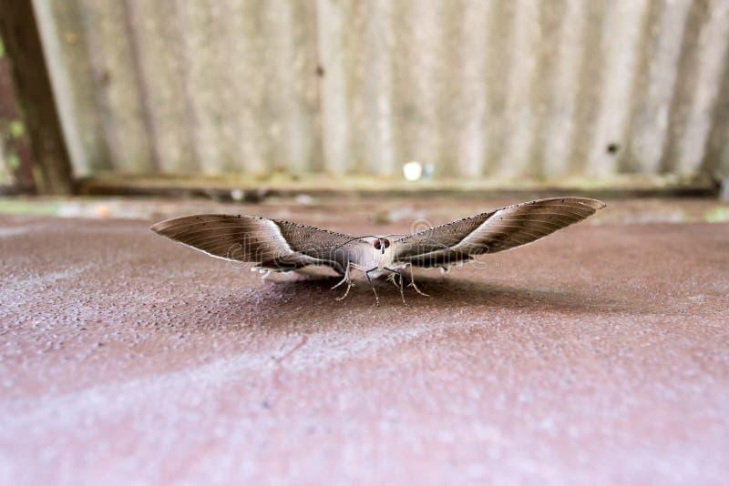 Bardzo piękny Tropikalny Swallowtail ćma obraz royalty free