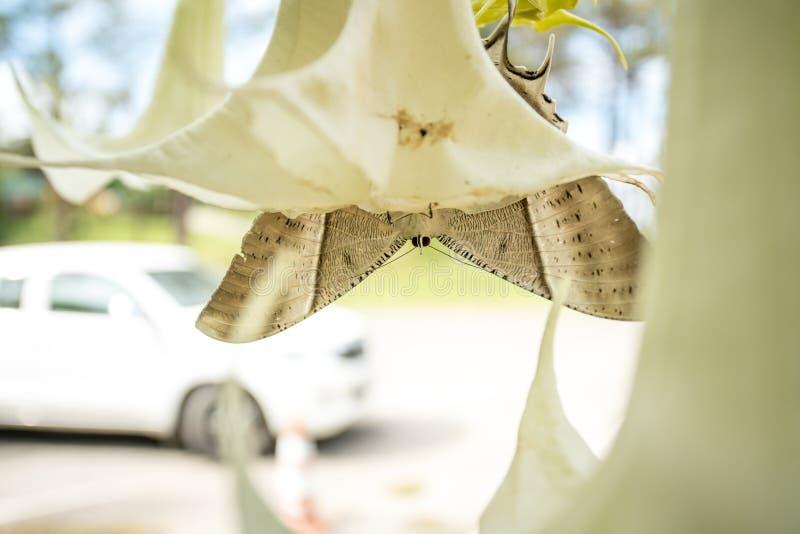Bardzo piękny Tropikalny Swallowtail ćma zdjęcia royalty free
