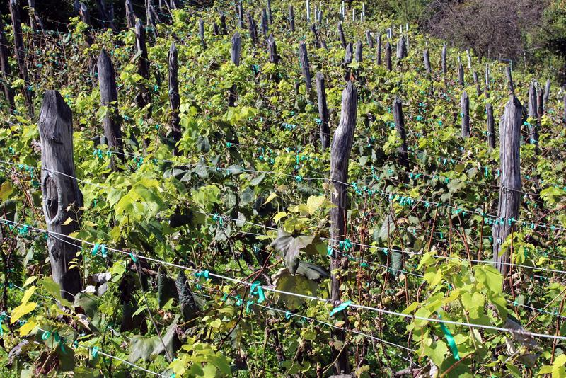 Bardzo stara, gęsto obsadzona winnica z gęstymi drewnianymi słupkami podporowymi, trzymającymi przewody na boku małego wzgórza ot obrazy royalty free