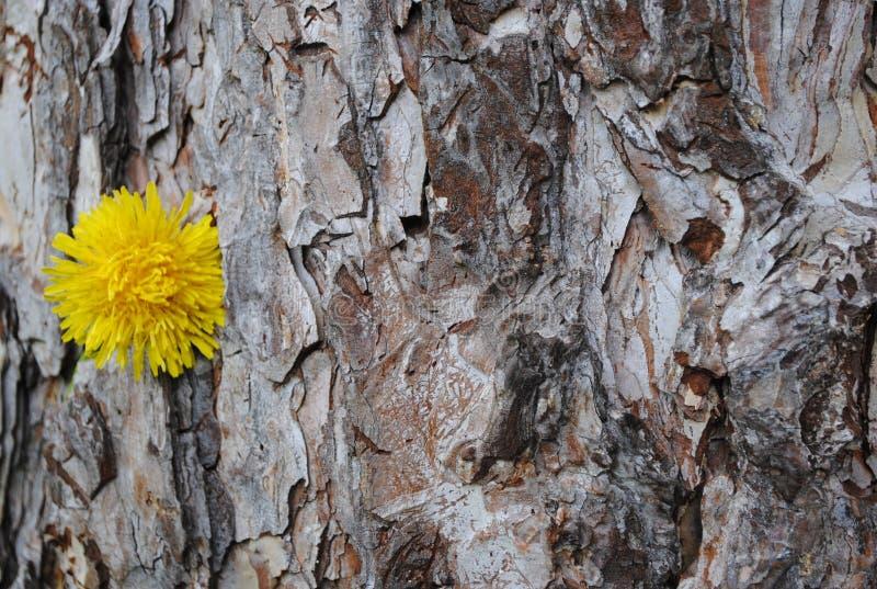 Bardzo stary drzewo z Dandelion obraz royalty free