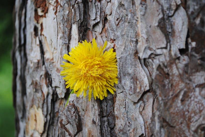 Bardzo stary drzewo z Dandelion 3 zdjęcia royalty free