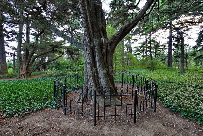 Bardzo stary suchy drzewo ono fechtował się z ogrodzeniem z zieloną trawą wokoło, przeciw tłu młodzi drzewa obrazy stock