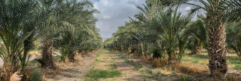 Bardzo wielki panoramiczny widok drzewko palmowe gaj przy północnym Israel zdjęcie royalty free