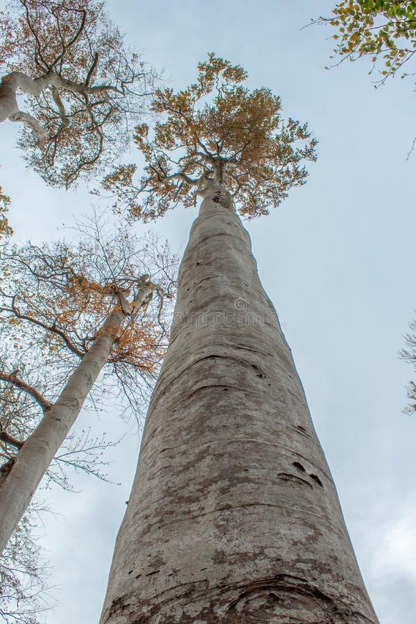 Bardzo Wysoki, Prosty Drzewny dorośnięcie w lasu niebo, fotografia stock